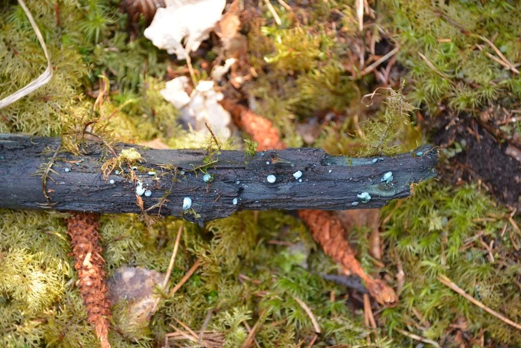 """Grönskål är en svamp som växer på murken ved, Svampens mycel (""""rötter"""") färgar veden intensivt grön"""
