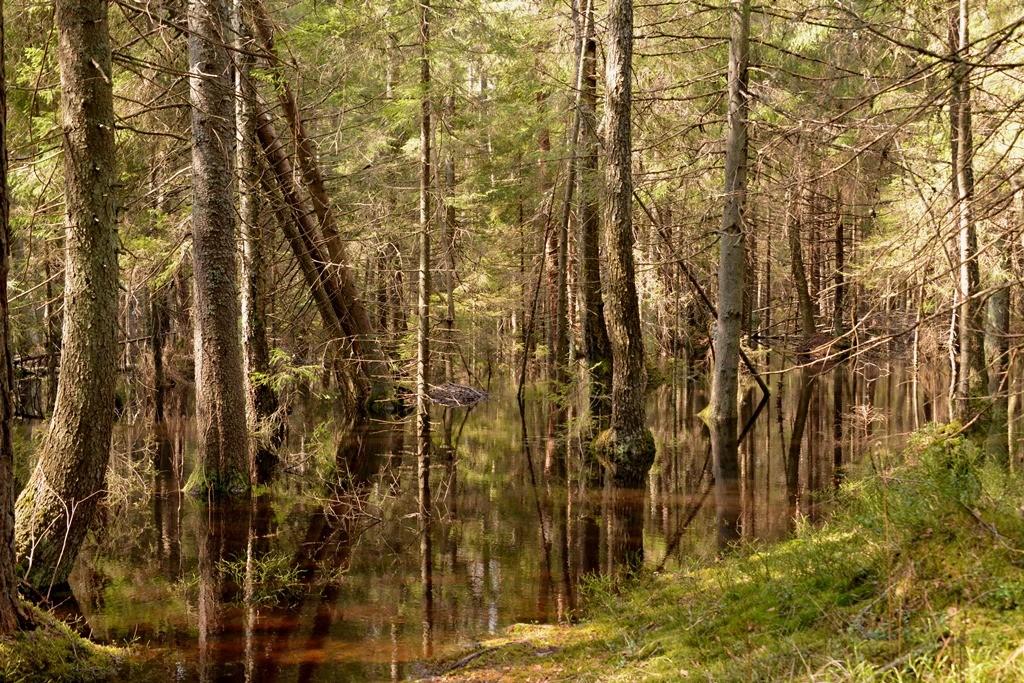 Översvämmade skogar är en ovanlig biotop