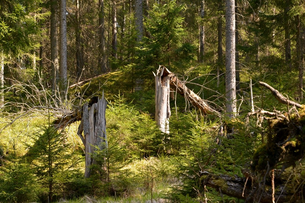 Mer död ved i skogen