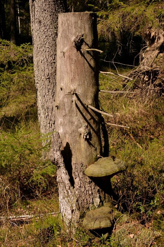 Tickor på dött träd