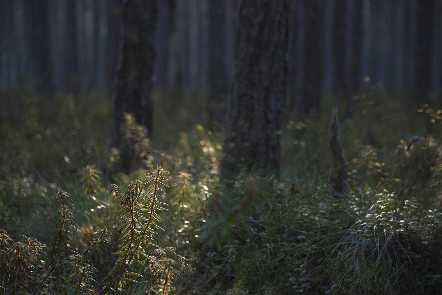 Skvattram bildar väldoftande mattor i Slätmossens naturreservat.